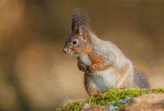 Greyish colored red squirrel Royalty Free Stock Photos