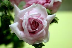 A Paler Shade of Pink. Pale pink rose perfuses an air of peace and tranquility royalty free stock image