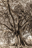 Palermo Ancient Trees Royalty Free Stock Photos