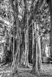 Palermo Ancient Trees Royalty Free Stock Images
