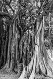 Palermo Ancient Trees Stock Image