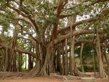 Palermo, Sicily, Italy.  Botanical Garden. Ficus also called magnolioide stock image