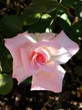 Palest Pink Beauty of a Rose stock images