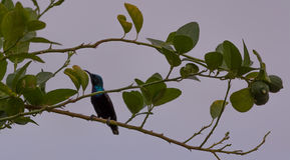 Palestina Sunbird Fotografia de Stock