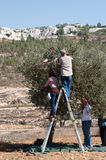 Palestine Olive Harvest Royalty Free Stock Image