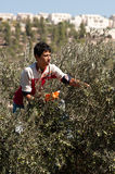 Palestine Olive Harvest Royalty Free Stock Photo