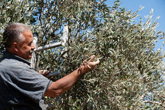 Palestine Olive Harvest Royalty Free Stock Photo