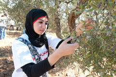Palestine Olive Harvest Stock Images