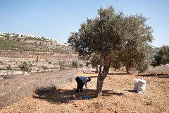Palestine Olive Harvest Royalty Free Stock Photography