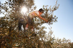 Palestine Olive Harvest Stock Photography