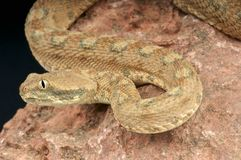 Palestine saw-scaled viper / Echis coloratus Royalty Free Stock Photos