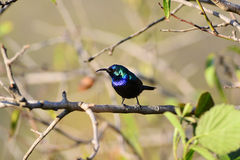 Palestine Sunbird Royalty Free Stock Images
