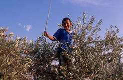 A Palestinian boy in an olive grove, Palestine. Royalty Free Stock Image