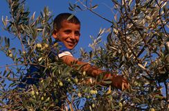 A Palestinian boy working in an olive grove, Palestine Stock Images