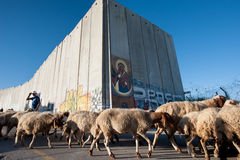 Palestinian sheep at Israeli separation wall Stock Photos