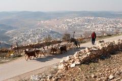 Palestinian Shepherd Stock Image