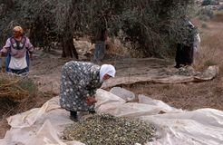 Palestinian women harvesting olives, Palestine Royalty Free Stock Photos