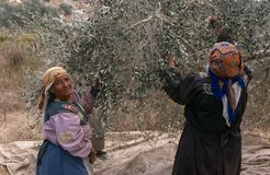 Palestinian women harvesting olives, Palestine Stock Images