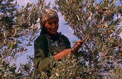 A Palestinian women working in an olive grove. Royalty Free Stock Photo