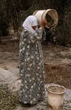 A Palestinian women working in an olive grove, Palestine. Royalty Free Stock Images