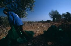 A Palestinian working in an olive grove. Stock Photos