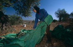 A Palestinian working in an olive grove. Royalty Free Stock Photos