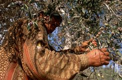 A Palestinian working in an olive grove. Stock Image