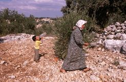 Palestinians in an olive grove. Stock Image