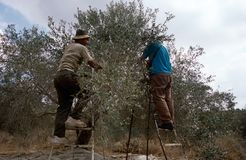 Palestinians working in an olive grove. Royalty Free Stock Photography