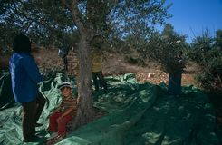 Palestinians working in an olive grove. Stock Photo