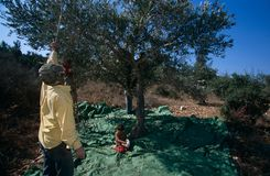 Palestinians working in an olive grove. Royalty Free Stock Photos