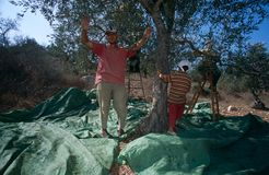Palestinians working in an olive grove. Stock Image