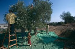Palestinians working in an olive grove. Royalty Free Stock Image