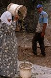 Palestinians working in an olive grove. Stock Photography