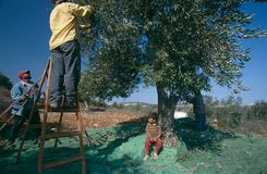 Palestinians working in an olive grove. Stock Images