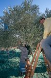 Palestinians working in an olive grove. Stock Photos