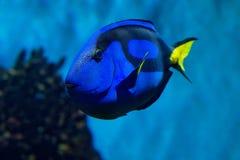 Palet Surgeonfish - Paracanthurus-hepatus is species van de indo-Stille Oceaan surgeonfish stock foto's