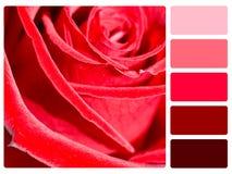 Muestra de la paleta de color de la rosa del rojo imagen de archivo
