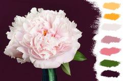 Paleta de colores rosada de la peonía Fotografía de archivo libre de regalías