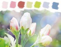 Paleta de cores das flores em botão de árvore de Apple Fotografia de Stock Royalty Free