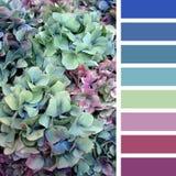 Paleta de la hortensia Foto de archivo