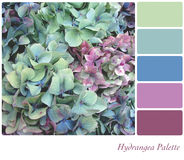 Paleta do Hydrangea Foto de Stock