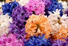 Paleta multicolora de jacintos Imagen de archivo