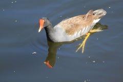 Paletas de la paloma del agua en agua Fotos de archivo libres de regalías