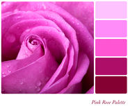 Palette rose de Rose Photo stock
