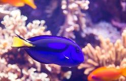 Palette surgeonfish Stock Photo