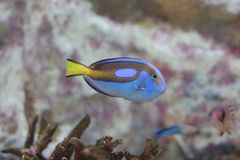 Palette surgeonfish, blue tang. Paracanthurus hepatus is a species of Indo-Pacific surgeonfish. A popular fish in marine Aquarians Stock Images