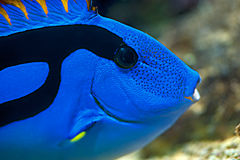 Palette surgeonfish - Pacific Blue Tang, close up. Palette surgeonfish, Pacific Blue Tang,royal blue tang, hippo tang, flagtail surgeonfish, Pacific regal blue Stock Photography