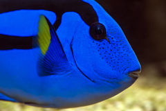 Palette surgeonfish - Pacific Blue Tang. Palette surgeonfish, Pacific Blue Tang,royal blue tang, hippo tang, flagtail surgeonfish, Pacific regal blue tang and Royalty Free Stock Images