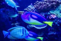 Palette Surgeonfish - Paracanthurus-hepatus Lizenzfreie Stockbilder